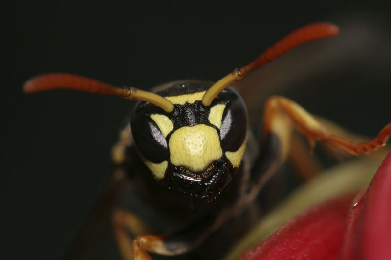 Wasp head closeup