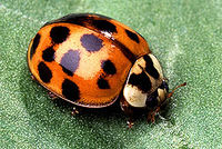 Asian ladybug usda photo