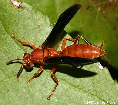 Carolina_red wasp