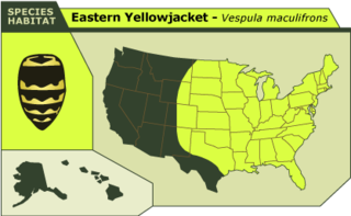 Eastern_yellowjacket
