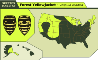 Forest_yellowjacket