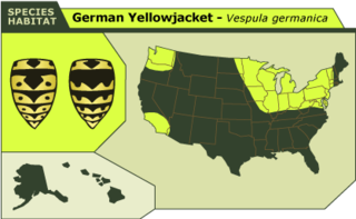 German_yellowjacket