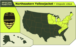 Northeastern_yellowjacket