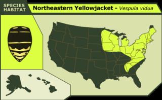 Northeastern_yellowjacket