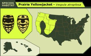 Pairie_yellowjacket