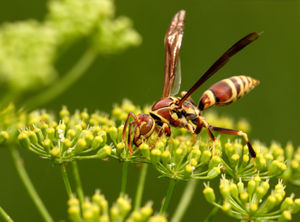 Exclamans_Common_Paper_Wasp
