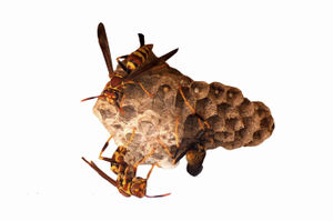 Exclamans_Common_Paper_Wasp_Nest