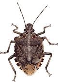 StinkBug smaller