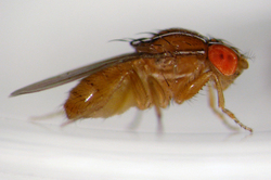 Fruit_fly_research03_6810