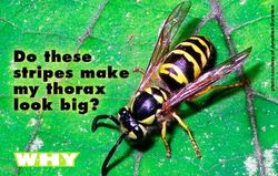 Thorax_postcard