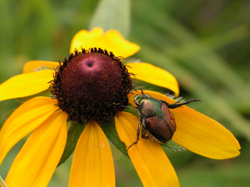 Japanese_beetle_on_flower_4