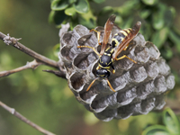Dominulus_euro_paper_wasp_with_nest