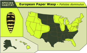 Euro_paper_wasp_2
