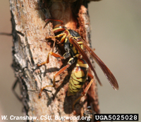 Aurifer_golden_paper_wasp_2_2