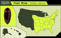 Paper_wasp_metricus_5