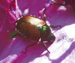 Jp80022_20japanese_beetles320