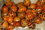 Ladybeetlemass