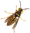 Yellowjacket_1