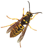 Yellowjacket_13