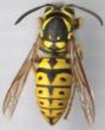 Yellowjacket_close_up_2